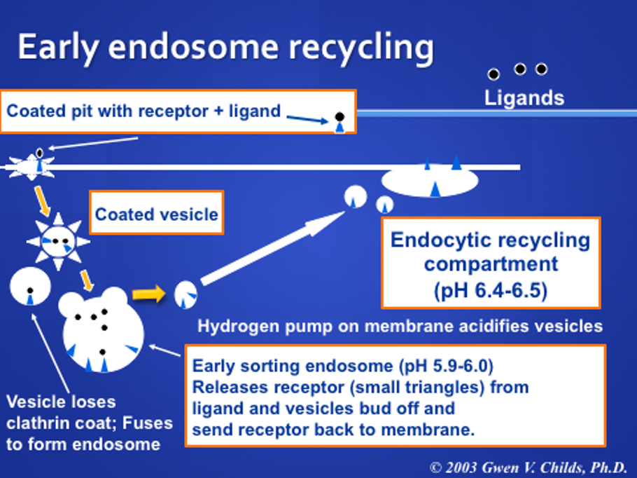 Receptor Mediated Endocytosis Recycling And Degradation