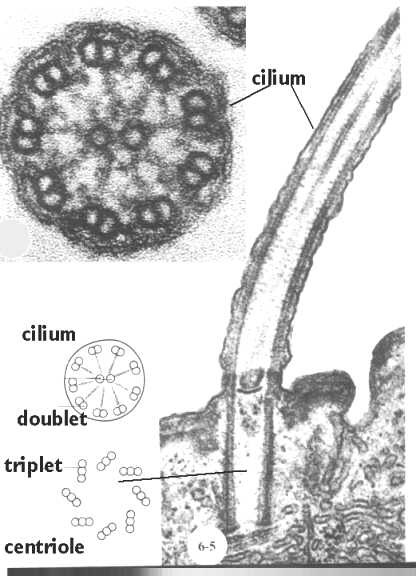 cilia  flagella  and centrioles