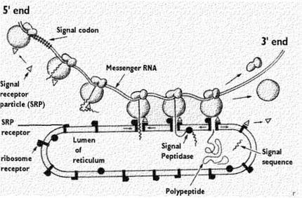 Ribosome Functions On Endoplasmic Reticulum Celebrate