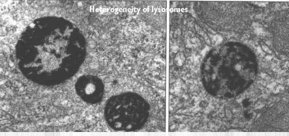 Lysosomes and Peroxiso...