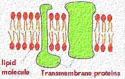 Membrane Architecture | Celebrate Cytochemistry | Gwen V  Childs, Ph D