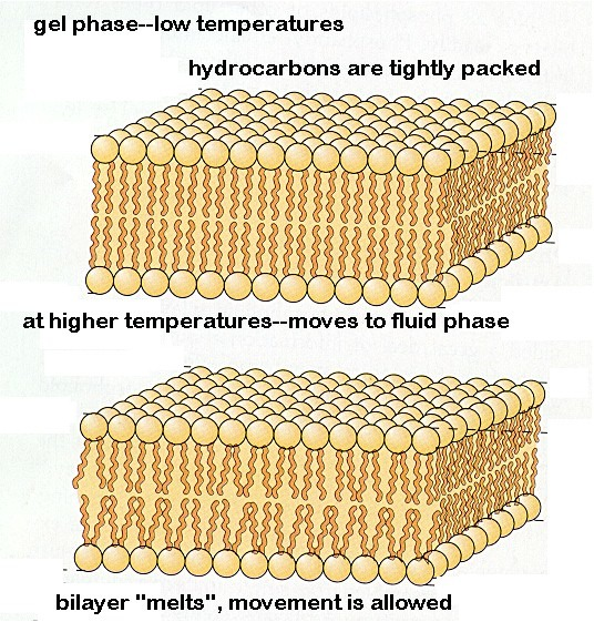 effects of temperature on plasma membrane stability Chapter 6 effects of sugars on the stability and structure of lipid membranes during drying  of the membrane phase transition temperature of the dry lipid and form a glass (vitrify.