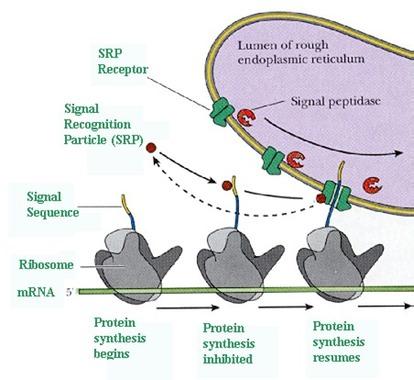 translation4_med ribosome functions on endoplasmic reticulum celebrate
